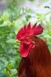 Jeune coq rouge dans le profil Photos stock