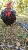 Jeune coq tacheté du Sussex photographie stock