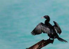 Jeune cormoran photographie stock libre de droits