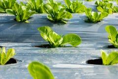 Jeune Cos Lettuce ou Romaine Lettuce Image stock