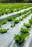 Jeune Cos Lettuce ou Romaine Lettuce Photos libres de droits