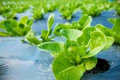 Jeune Cos Lettuce ou Romaine Lettuce Photo stock