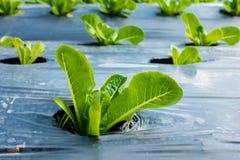Jeune Cos Lettuce ou Romaine Lettuce Image libre de droits