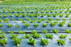 Jeune Cos Lettuce ou Romaine Lettuce Photo libre de droits