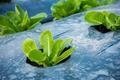 Jeune Cos Lettuce ou Romaine Lettuce Photos stock