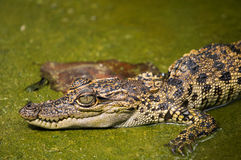 Jeune crocodile images stock