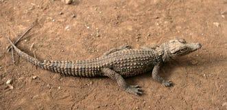 Jeune crocodile photo libre de droits