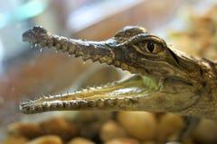 Jeune crocodile d'eau de mer, Australie photo stock