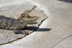Jeune crocodile ouvert ils disent du bout des lèvres Photo libre de droits