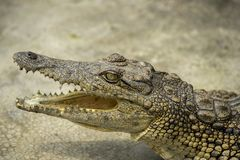 Jeune crocodile se reposant dans l'eau en parc de crocodile, Ouganda images stock