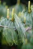 Jeune croissance de pin de Holford avec un fond trouble image stock