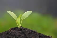 Jeune croissance de vert de moutarde chinoise Photographie stock libre de droits