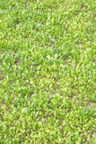 Jeune culture de légumes verte image stock