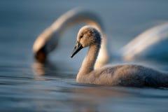 Jeune cygne et cygne sur l'eau bleue photographie stock libre de droits
