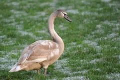 Jeune cygne sur le champ d'herbe neigeux vert Photographie stock libre de droits