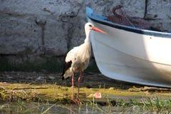 Jeune cygne près de l'eau Images libres de droits