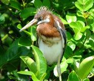 Jeune de héron de Tricolored (Egretta tricolore) Images stock