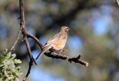 Jeune de Robin d'Américain (migratorius de Turdus) Photographie stock