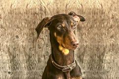 Jeune dobermann de brun jaunâtre au sujet de porte Image stock
