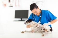 Vétérinaire vérifiant le chien Images libres de droits