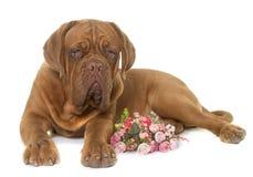 Jeune dogue de bordeaux Image libre de droits