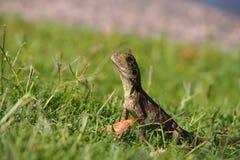 Jeune dragon Photos libres de droits