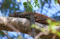 Jeune dragon de Komodo sur un arbre Photographie stock