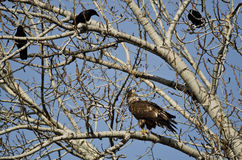 Jeune Eagle Being Harassed chauve par les corneilles américaines photographie stock libre de droits