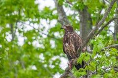 Jeune Eagle chauve mangeant les restes des poissons Réserve nationale de crochet de Bombey delaware LES Etats-Unis image libre de droits