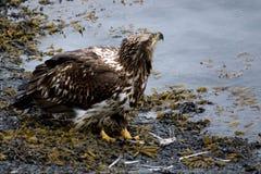 Jeune Eagle chauve sur le rivage Photos libres de droits