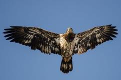 Jeune Eagle Flying chauve dans le ciel bleu images libres de droits