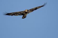 Jeune Eagle Flying chauve dans le ciel bleu photos stock
