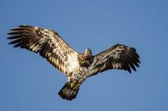 Jeune Eagle Flying chauve dans le ciel bleu image libre de droits