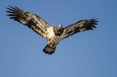 Jeune Eagle Flying chauve dans le ciel bleu photographie stock