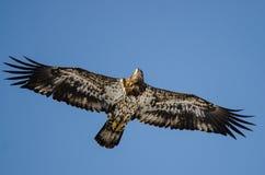 Jeune Eagle Flying chauve dans le ciel bleu photo stock