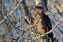 Jeune Eagle Perched High chauve dans un arbre stérile photo stock