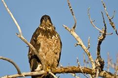 Jeune Eagle Perched High chauve dans un arbre stérile image stock