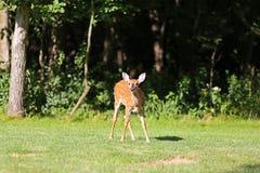 Jeune faon de cerfs communs de bébé en bois Photos stock