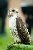 Jeune faucon pérégrin Photographie stock