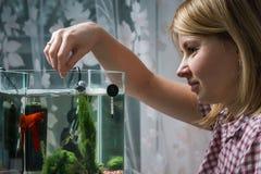 Jeune femme alimentant de bêtas poissons dans l'aquarium à la maison photos stock