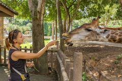 Jeune femme alimentant une girafe au zoo Images stock