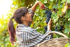 Jeune femme de sourire heureuse sélectionnant des groupes de raisins image stock
