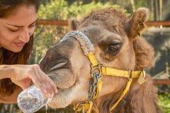 Jeune femme donnant l'eau au chameau Photo libre de droits