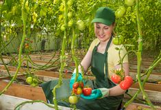 Jeune femme heureuse dans l'uniforme, tomates fraîches de coupes en serre chaude Travail en serre chaude images stock