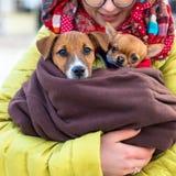 Jeune femme heureuse en verres tenant son petits terrier et chiwawa mignons de Jack Russell de chiens Images stock