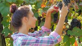 Jeune femme moissonnant des raisins clips vidéos