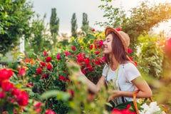 Jeune femme recueillant des fleurs dans le jardin Sentir de fille et roses admiratives Concept de jardinage image libre de droits
