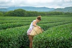 Jeune femme sélectionnant des feuilles de thé à la plantation images libres de droits