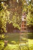 Jeune femme sur des pommes d'une cueillette d'échelle d'un pommier Photos stock