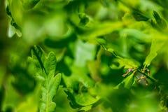 Jeune feuillage vert de chêne puissant photographie stock